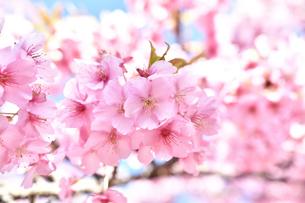 松田山の河津桜の写真素材 [FYI04097210]