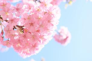 松田山の河津桜の写真素材 [FYI04097211]
