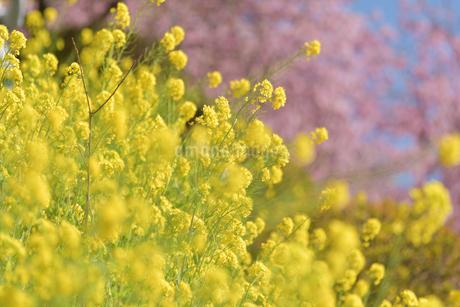 松田山の菜の花と河津桜の写真素材 [FYI04097212]