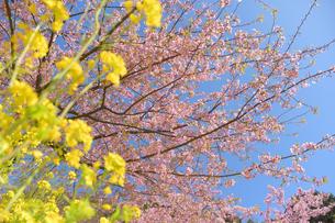 松田山の菜の花と河津桜の写真素材 [FYI04097213]