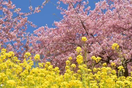 松田山の菜の花と河津桜の写真素材 [FYI04097214]