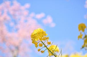 松田山の菜の花と河津桜の写真素材 [FYI04097215]
