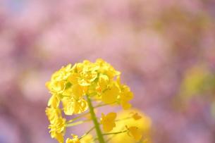 松田山の菜の花と河津桜の写真素材 [FYI04097216]