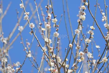 白梅と青空の写真素材 [FYI04097217]