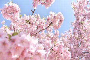 松田山の河津桜の写真素材 [FYI04097219]