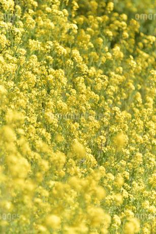 松田山 満開の菜の花の写真素材 [FYI04097221]