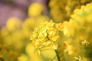 松田山の菜の花の写真素材 [FYI04097222]