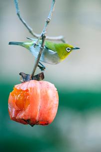 柿の実を食べに来たメジロの写真素材 [FYI04097274]