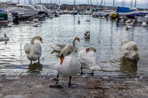 スイス、ジュネーブ、レマン湖と白鳥の写真素材 [FYI04097523]