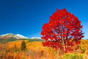 乗鞍高原紅葉の一本のカエデと冠雪の乗鞍岳の写真素材 [FYI04097543]