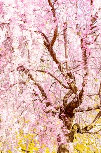 桜の写真素材 [FYI04097573]