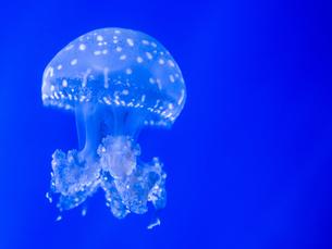 クラゲの写真素材 [FYI04097574]