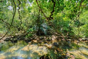 西表島のジャングルの写真素材 [FYI04097582]