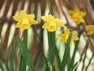 スイセンの花の写真素材 [FYI04097791]