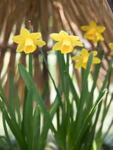 スイセンの花の写真素材 [FYI04097792]