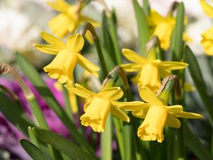 スイセンの花の写真素材 [FYI04097794]