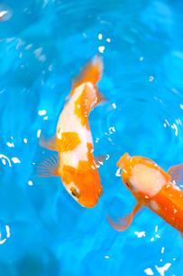 金魚の写真素材 [FYI04097931]