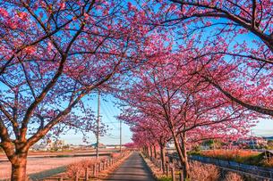 早朝の桜並木の写真素材 [FYI04098291]