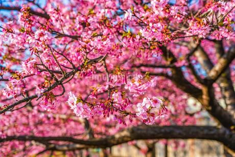 満開の河津桜の写真素材 [FYI04098292]