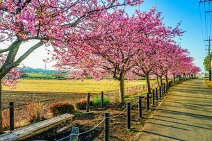 満開の河津桜と散策路の写真素材 [FYI04098294]