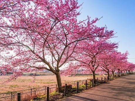 満開の桜並木と散策路の写真素材 [FYI04098296]