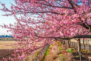 満開の河津桜の写真素材 [FYI04098297]