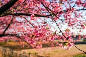 満開の桜の写真素材 [FYI04098298]