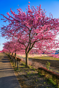 桜並木の写真素材 [FYI04098299]