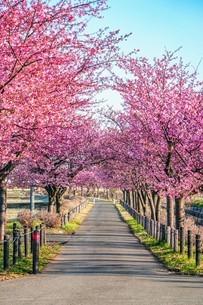 桜並木の写真素材 [FYI04098300]