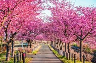 桜並木の写真素材 [FYI04098301]