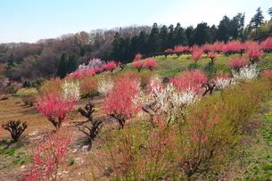 桃の花が咲く丘の写真素材 [FYI04098492]