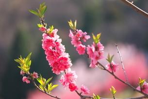 桃の花の小枝の写真素材 [FYI04098494]