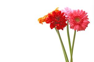 ガーベラの花束の写真素材 [FYI04098587]