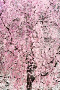桜の写真素材 [FYI04098593]