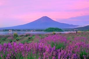 河口湖よりラベンダーと富士山の写真素材 [FYI04098972]