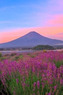 河口湖よりラベンダーと富士山の写真素材 [FYI04098974]