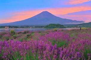 河口湖よりラベンダーと富士山の写真素材 [FYI04098976]