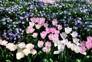 とっとり花回廊,チュ-リップとビオラの花の写真素材 [FYI04099007]