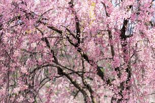 桜の写真素材 [FYI04099180]