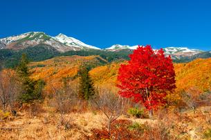 乗鞍高原 一本の紅葉の巨木のカエデと冠雪の乗鞍岳の写真素材 [FYI04099358]