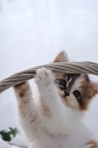 カゴの取っ手にじゃれる子猫の写真素材 [FYI04099534]