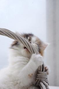 カゴの取っ手にじゃれる子猫の写真素材 [FYI04099535]