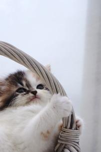 カゴの取っ手にじゃれる子猫の写真素材 [FYI04099536]