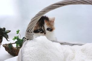 カゴと子猫の写真素材 [FYI04099538]