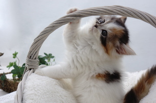 カゴの取っ手にじゃれる子猫の写真素材 [FYI04099539]