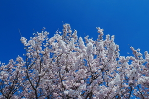 青空と満開の桜の写真素材 [FYI04099603]