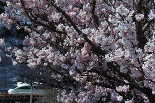 満開の桜と小田急ロマンスカーVSEの写真素材 [FYI04099604]