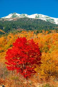 乗鞍高原 一本の巨木の紅葉のカエデと冠雪の乗鞍岳の写真素材 [FYI04099670]