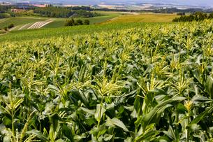 夏のトウモロコシ畑(北海道 美瑛町)の写真素材 [FYI04099679]