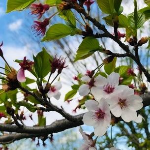 cherry blossomの写真素材 [FYI04099731]